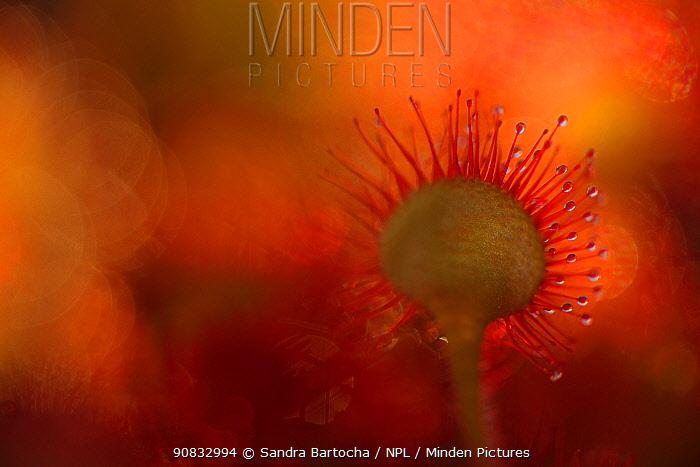 Sundew (Drosera rotundifolia) Dueodde, Bornholm, Denmark, June.
