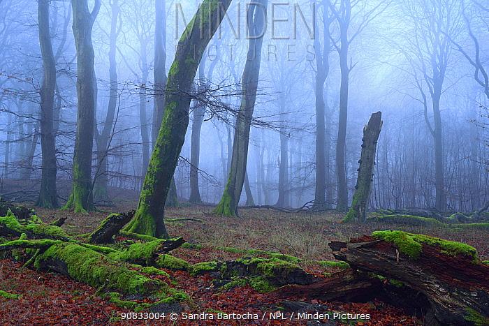 European beech (Fagus sylvatica) forest in winter, Jasmund National Park, Ancient Beech forest UNESCO World Natural Heritage, Ruegen, Germany, December.
