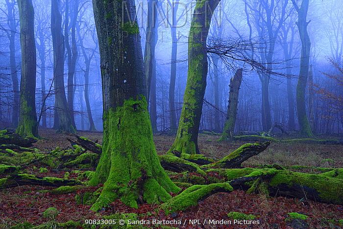 European Beech (Fagus sylvatica) forest in winter, Jasmund National Park, Ancient Beech forest UNESCO World Natural Heritage, Ruegen, Germany,