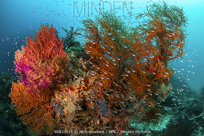 School of glassfish shelter around a thriving coral reef in the shallow waters of Raja Ampat, West Papua, Indonesia. Pacific Ocean.