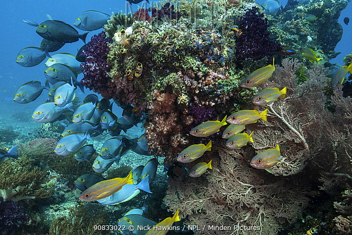 Surgeonfish (Acanthuridae) shelter below a coral outcropping in Raja Ampat, West Papua, Indonesia. Pacific Ocean.