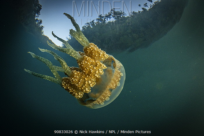 Spotted jelly (Mastigias papua) swims in sheltered cove in Raja Ampat, West Papua, Indonesia. Pacific Ocean.