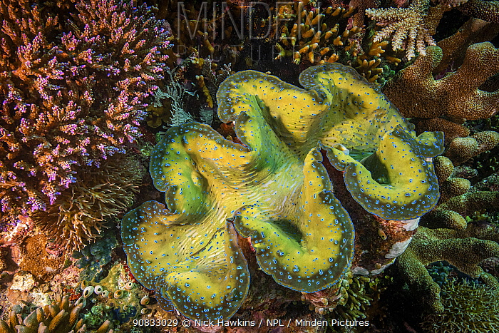 Crocus giant clam (Tridacna crocea) in Raja Ampat, West Papua, Indonesia. Pacific Ocean.