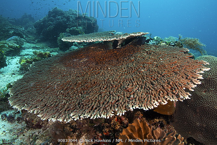 Acropora table corals (Acropora sp.) thriving in the shallow waters of Raja Ampat, West Papua, Indonesia.