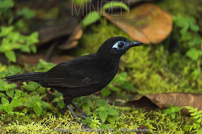 Immaculate Antbird (Myrmeciza immaculata) male, in Choco region, Northwestern Ecuador.