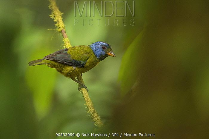 Moss-backed tanager (Bangsia edwardsi) in Choco region, Northwestern Ecuador.