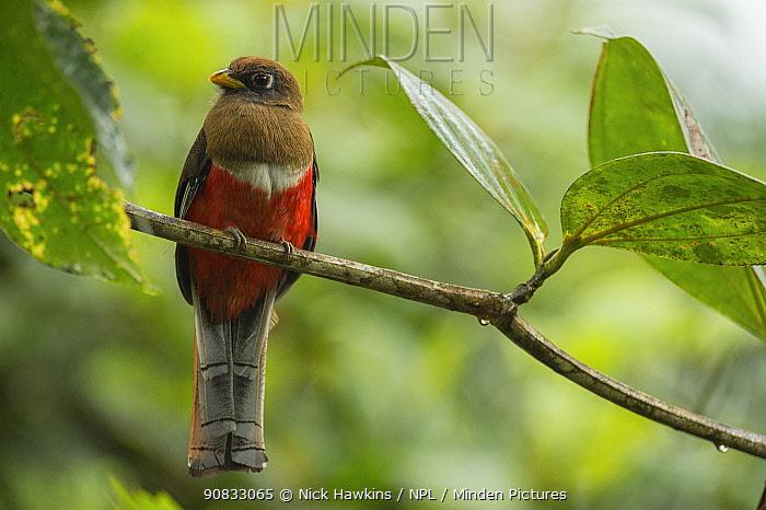 Masked trogon (Trogon personatus) female in the cloud forests, Choco region, Northwestern Ecuador.