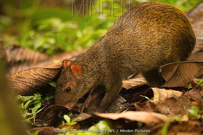 Agouti (Dasyprocta punctata) searches for food among leaf litter in cloud forest, Choco region, Northwestern Ecuador.