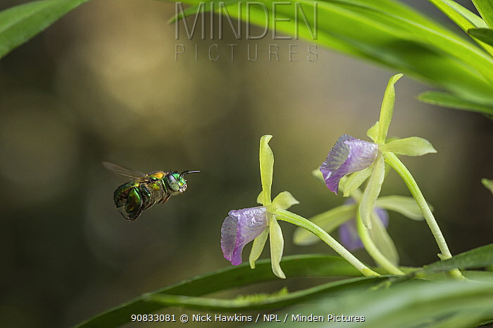 Orchid bee (Euglossa sp.) visits an orchid in the cloud forests, Choco region, Northwestern Ecuador.