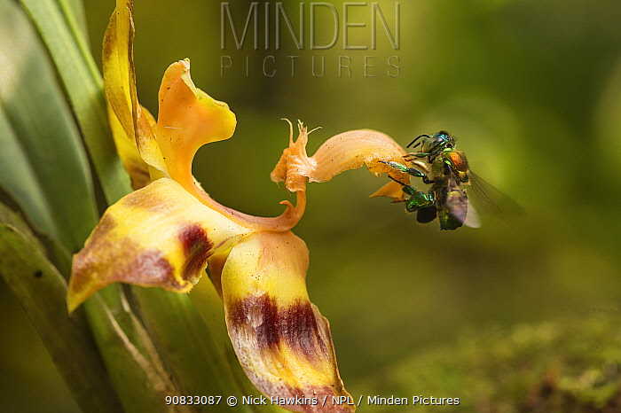 Orchid bee (Euglossa sp.) visiting an orchid in cloud forest, Choco region, Northwestern Ecuador.