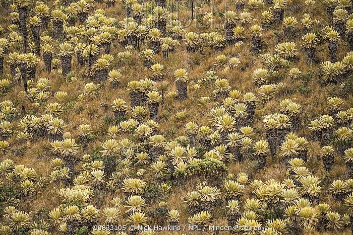Field of Paramo flower / Frailejones (Espeletia pycnophylla), highland paramo, northern Ecuador.