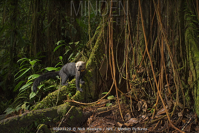 Tarya (Eira barbara) in cloud forest, Choco region, Northwestern Ecuador. Camera trap image.