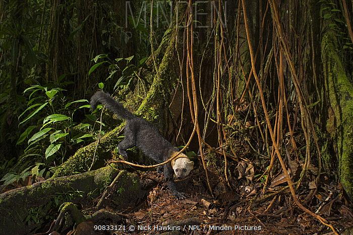 Tarya (Eira barbara) in cloud forest, Choco region, Northwestern Ecuador. Camera trap image.