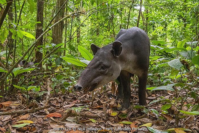 Baird's tapir (Tapirus bairdii), rainforest, Corcovado National Park, Costa Rica. Endangered.