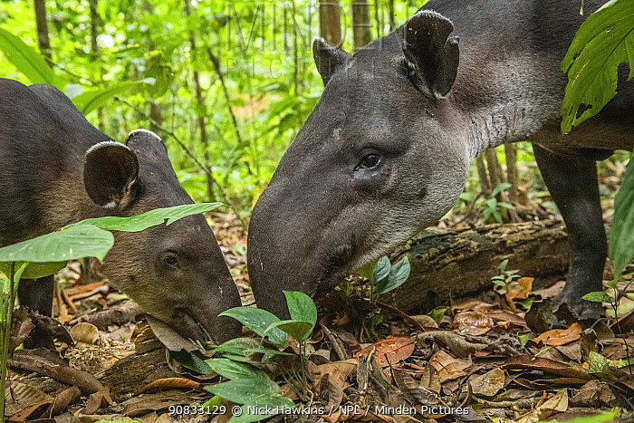 Baird's tapir female (Tapirus bairdii) with calf, rainforest, Corcovado National Park, Costa Rica. Endangered.
