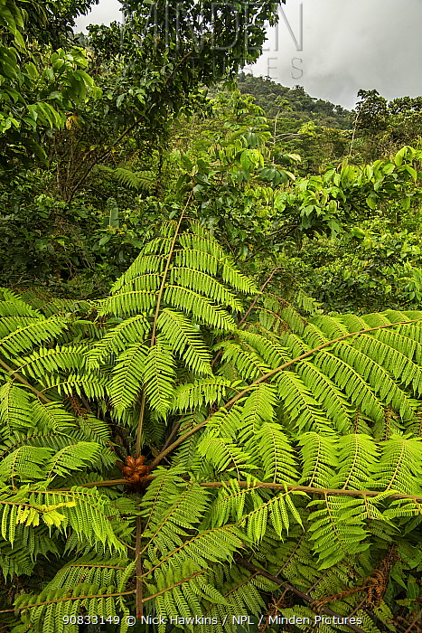 View of tree fern and tropical rainforest in Tenorio Volcano National Park, Costa Rica.