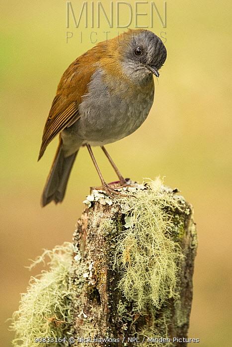 Black-billed nightingale-thrush (Catharus gracilirostris), highlands of the Talamanca mountains, Costa Rica.