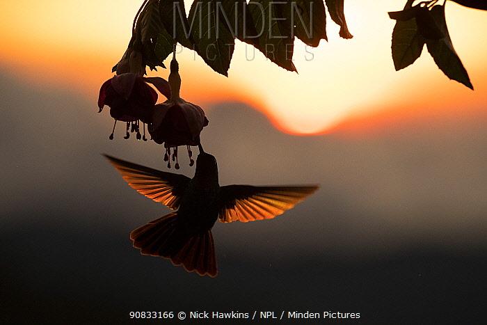 Hummingbird (Trochilidae) feeding on flower, silhouetted at sunset, Talamanca mountains, Costa Rica.