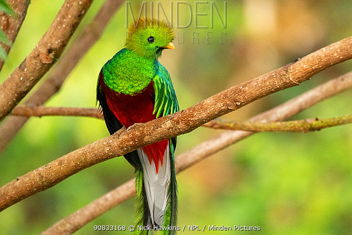 Resplendent quetzal (Pharomachrus mocinno) male, Talamanca mountains, Costa Rica.