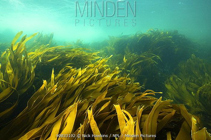 Kelp forests growing off Kejimkujik National Park, Nova Scotia, Canada. August.