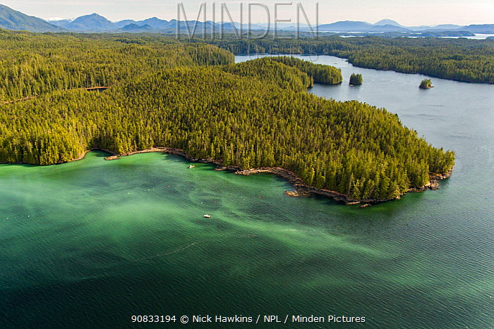 Aerial view of coastline, Great Bear Rainforest covered in Pacific herring (Clupea pallasii) spawn, Bella Bella, British Columbia, Canada. March.