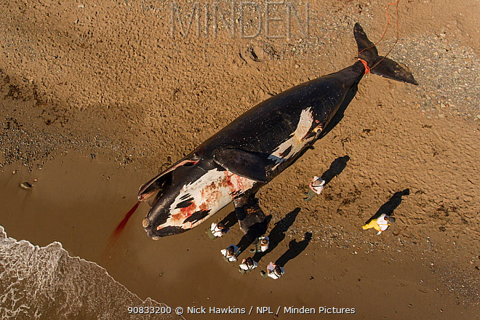Aerial view of a dead North Atlantic right whale (Eubalaena glacialis) on beach, Gulf of Saint Lawrence, Canada. June 2019.