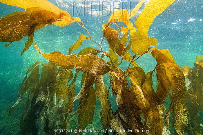 Pacific Herring (Clupea pallasii) eggs laid on giant kelp, coastal waters of the Great Bear Rainforest in British Columbia, Canada. March.