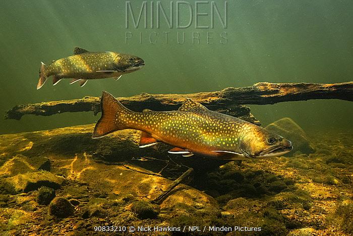 Brook trout (Salvelinus fontinalis) gathering to spawn, St. Mary's river, Nova Scotia, Canada. October.