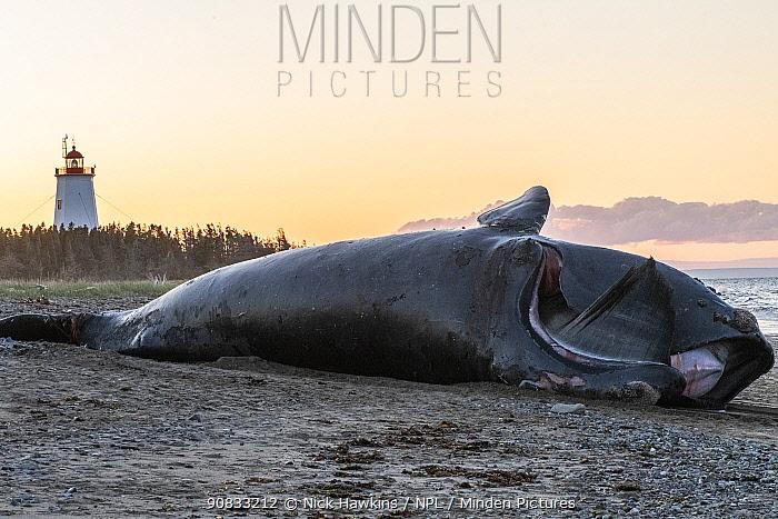 A dead North Atlantic right whale (Eubalaena glacialis) on beach, Gulf of Saint Lawrence, Canada. June 2019.