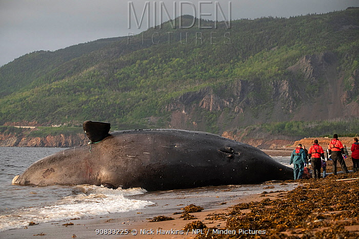 A dead North Atlantic right whale (Eubalaena glacialis) on beach in Cape Breton, Canada. The whale, known as 'Punctuation' to researchers, was a large female who scientists have been tracking since she was first spotted in 1981. Findings of a necropsy revealed the whales fatal injuries were due to 'sharp trauma,' consistent with a vessel strike. June 2019.