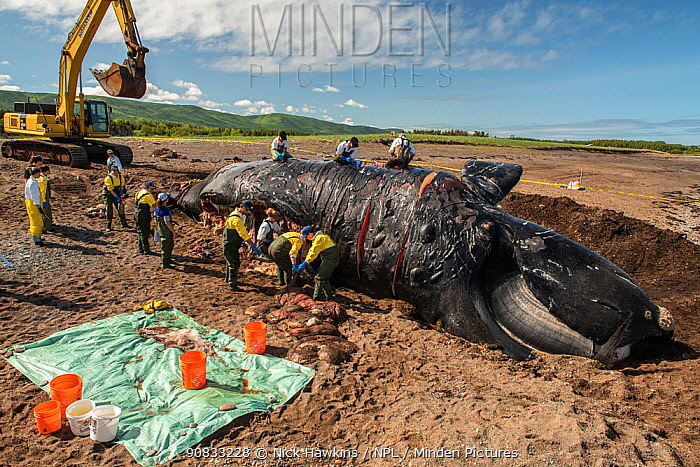 Researchers perform a necropsy on dead North Atlantic right whale (Eubalaena glacialis) on beach in Cape Breton, Canada. The whale, known as 'Punctuation' to researchers, was a large female who scientists have been tracking since she was first spotted in 1981. Findings of the necropsy revealed the whales fatal injuries were due to 'sharp trauma,' consistent with a vessel strike. June 2019.