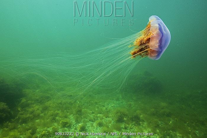 Lions mane jellyfish (Cyanea capillata) drifts, current off Nova Scotia, Canada. July