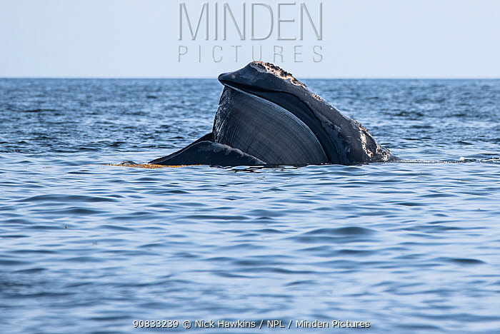 North Atlantic right whale (Eubalaena glacialis) with mouth open revealing baleen plates. Gulf of Saint Lawrence, Canada. July IUCN Status: Endangered.