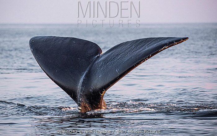 Tail of a North Atlantic right whale (Eubalaena glacialis) as it dives, Gulf of Saint Lawrence, Canada. July IUCN Status: Endangered.