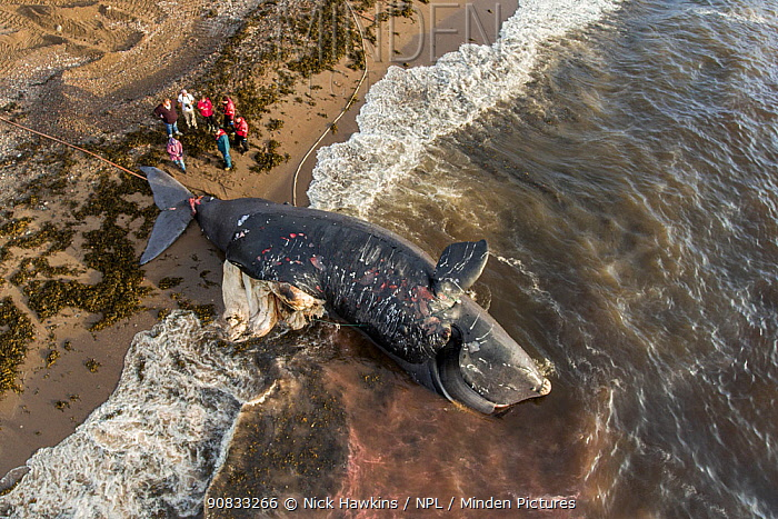 Aerial view of a dead North Atlantic right whale (Eubalaena glacialis) on beach in Cape Breton, Canada. The whale, known as 'Punctuation' to researchers, was a large female who scientists have been tracking since she was first spotted in 1981. Findings of a necropsy revealed the whales fatal injuries were due to 'sharp trauma,' consistent with a vessel strike. June 2019.