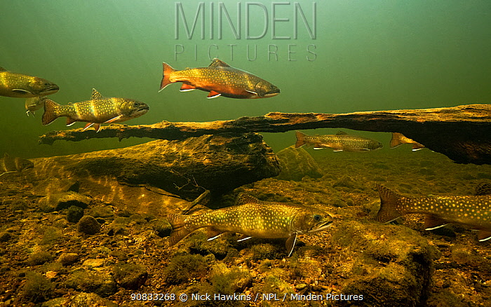 Brook trout (Salvelinus fontinalis) gather to spawn, St. Mary's river, Nova Scotia, Canada. October.