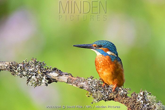 Kingfisher (Alcedo atthis) near Wychbold, Worcestershire, England, UK.