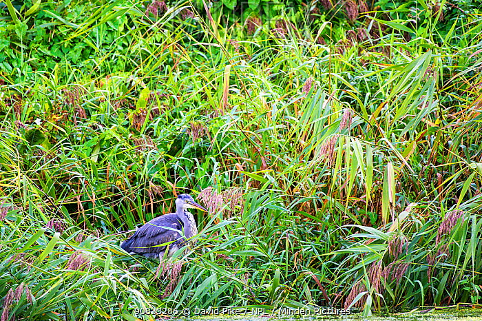 Heron (Ardea cinerea) Exeter Canal, Devon, England, UK. September.