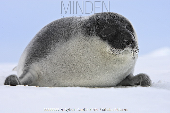 Hooded Seal (Cystophora cristata) pup, Magdalen Islands, Canada.