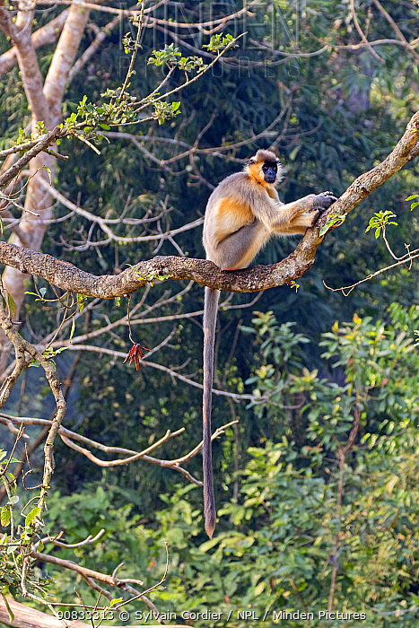 Capped langur (Trachypithecus pileatus), Trishna Wildlife Sanctuary, Tripura State, India