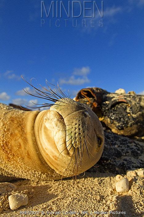 Hawaiian monk seal (Monachus schauinslandi) resting on beach, Eastern Island, Midway, Hawaii