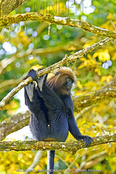 Nilgiri langur (Trachypithecus johnii) Anaimalai Mountain Range (Nilgiri hills), Tamil Nadu, India.