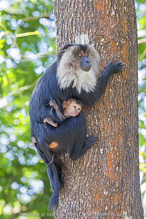 Lion-tailed macaque (Macaca silenus), adult female climbing tree with young, Anaimalai Mountain Range (Nilgiri hills), Tamil Nadu, India