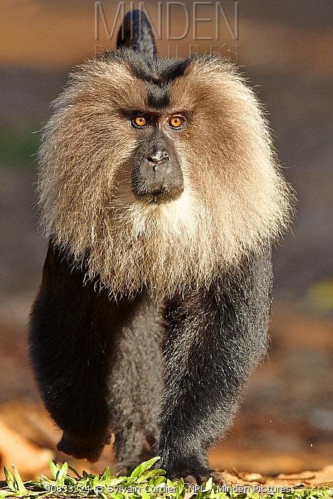 Lion-tailed macaque (Macaca silenus),dominant male, Anaimalai Mountain Range (Nilgiri hills), Tamil Nadu, India