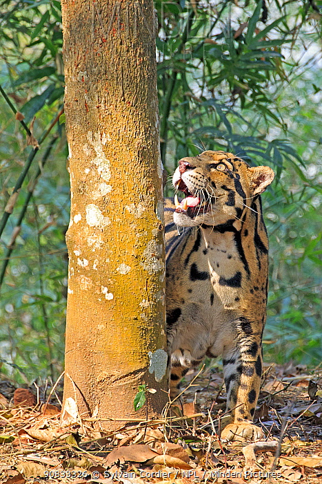 Clouded leopard (Neofelis nebulosa) looking up into tree, captive, Tripura state, India