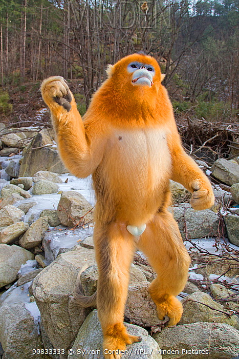 Golden snub-nosed monkey (Rhinopithecus roxellana),standing up on river boulders, Qinling Mountains, Shaanxi province, China