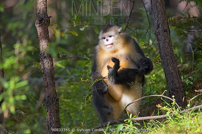 Yunnan snub-nosed monkey (Rhinopithecus bieti) standing on hind leg, Yunnan province, China