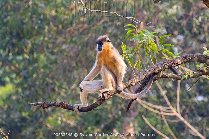 Capped langur (Trachypithecus pileatus) male on branch, Trishna Wildlife Sanctuary, Tripura State, India