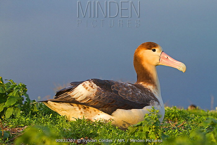Short-tailed albatross (Phoebastria albatrus) juvenile, Sand Island, Midway, Hawaii
