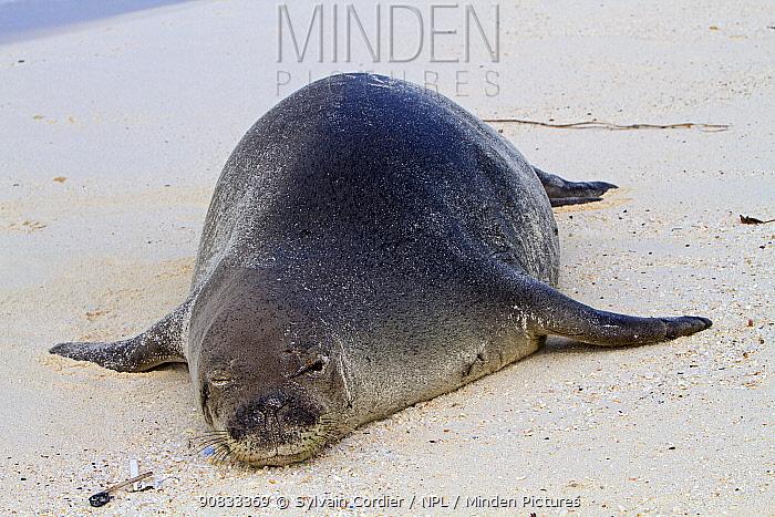 Hawaiian monk seal (Monachus schauinslandi), Sand Island, Midway, Hawaii